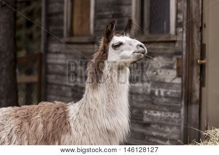 A Llama has a piece of hay in its mouth.