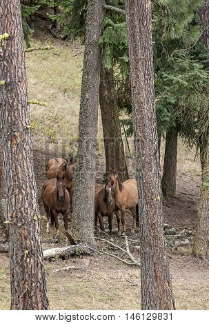 Horses together in trees. A group of horses mingle in trees east of Coeur d'Alene Idaho.