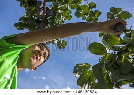 Reaching out for the plum. A young boy has fun picking fresh plums off of a plum tree.
