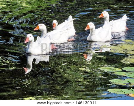 The White Geese floating on Lake Ontario in Toronto Canada August 30 2016