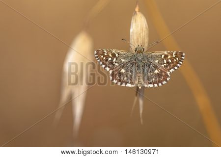 Grizzled Skipper Butterfly (pyrgus Malvae) Resting On Grass Spike With Neutral Brown Background