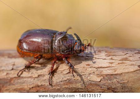 South European Rhinoceros Beetle