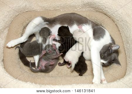 Gray and white tabby cat mother nursing six newborn babies. Gray white and black kittens pushing in to nurse gray kitten upside down trying to get out from under siblings.