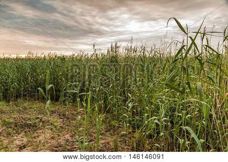 Reeds Near The Coast