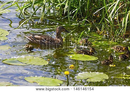 female mallard duck with ducklings swimming on lake surface