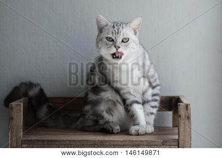 Cute American Short hair kitten sitting and licking lips on wooden shelf
