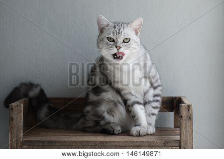 Cute American Short hair kitten sitting and licking lips on wooden shelf