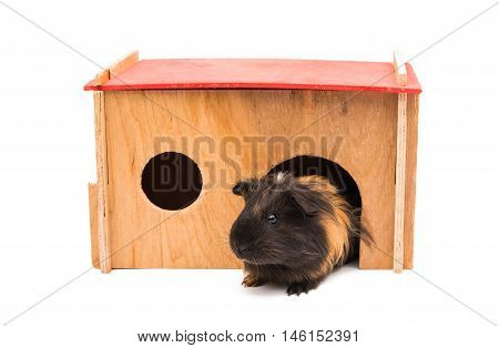 guinea pig animals on a white background