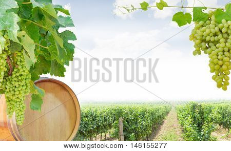 Background of the grape vines with ripening grapes and oak barrel of wine left cluster of table grapes on the right vineyard at the bottom and an empty central part