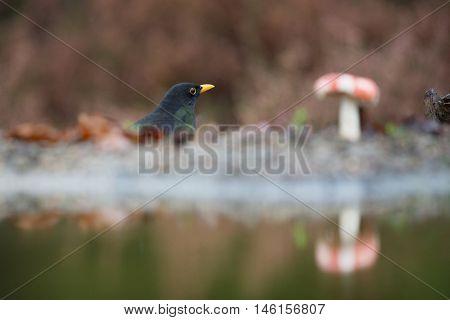 common blackbird bird in autumn near mushroom