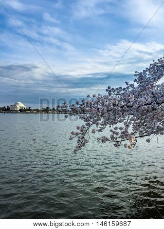 Jefferson Memorial During Cherry Blossoms