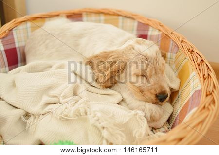 English cocker spaniel puppy sleeping in basket