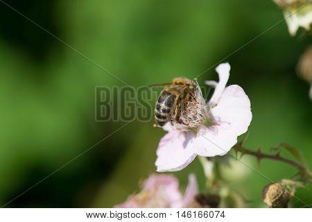 Bee On Flowers Of Blackberries