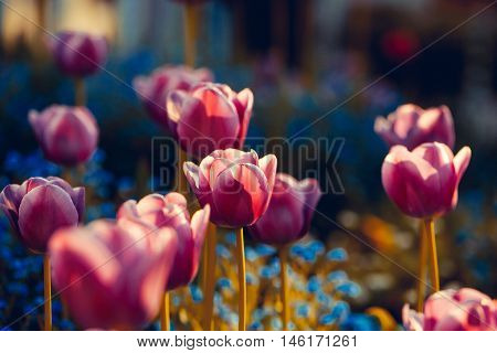 beautiful flower of tulip with pink petals on stem in flowerbed on floral bouquet sunny day outdoor on natural background closeup