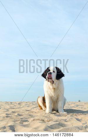 St. Bernard puppy sitting in nature sand
