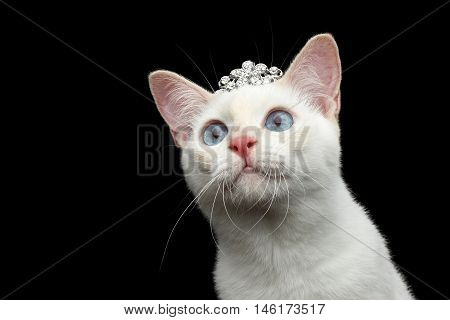 Close-up Head of Gorgeous Blue eyed Female Cat of Breed Mekong Bobtail, with jewelry, Isolated Black Background, Color-point Beige Fur