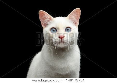 Close-up Portrait of Gorgeous Blue eyed Female Cat of Breed Mekong Bobtail, Isolated Black Background, Color-point Beige Fur