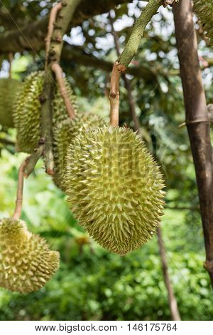 Durian Trees