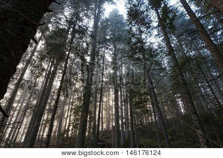 Misty morning spruce forest in national park Durmitor, Montenegro