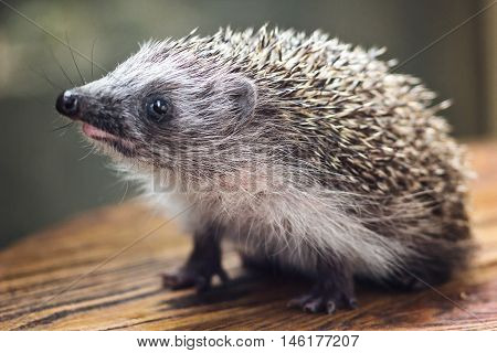Young charming spiny european hedgehog (erinaceus albiventris) on wooden background