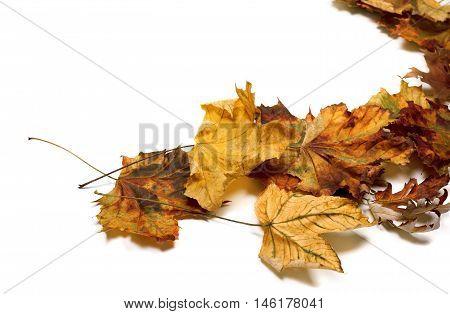 Autumn Dried Maple Leafs