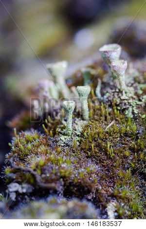 Natural background of green moss and lichen family cladonia growing on moss with drops of morning dew