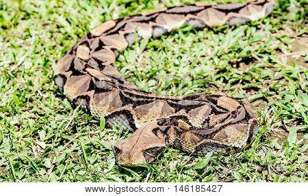 Large African Gaboon Viper snake ( bitis gabonica rhinoceros)EntebbeUganda