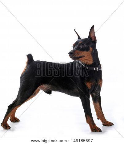 Dwarf Pinscher Dog