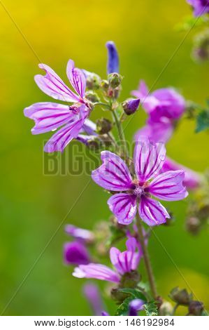 Blooming purple Common Mallow in nature outdoor