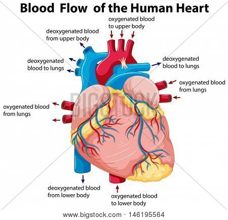 Diagram showing blood flow in human heart illustration