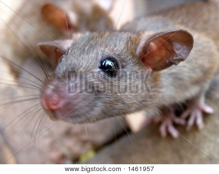 Really Cute Wild Rat