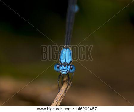 A damselfly perching on a blade of grass