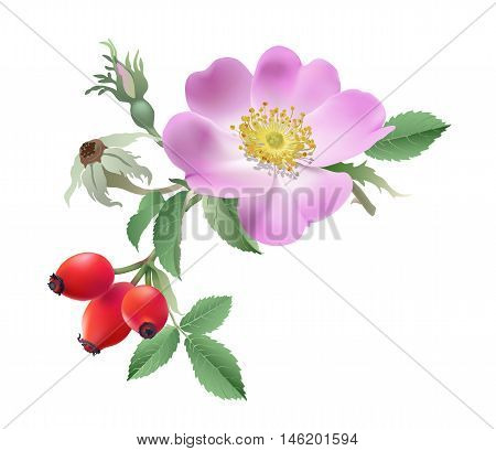 Wild rose flower and fruits. Hand drawn vector illustration of a branch of wild rose with bloom, bud and fruits on transparent background.