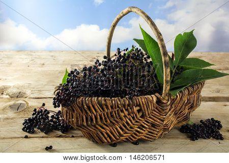 black elderberries (Sambucus nigra) freshly harvested in a basket on rustic wooden planks against the blue sky with clouds copy space