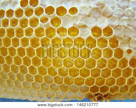 wax-building bees intended for storage of honey.