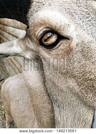 closeup gray head of a goat eyes and a long beard