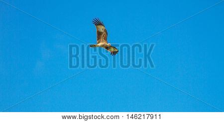 Brahminy Kite In Flight On Sky