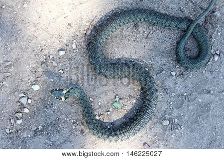 scaly reptile crawling on the road top view / the snake on the road