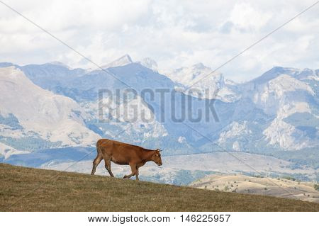 Mountain landscape with brown cow in Montenegro.
