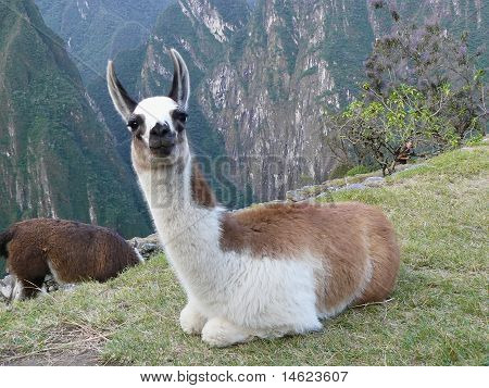 Little Lama