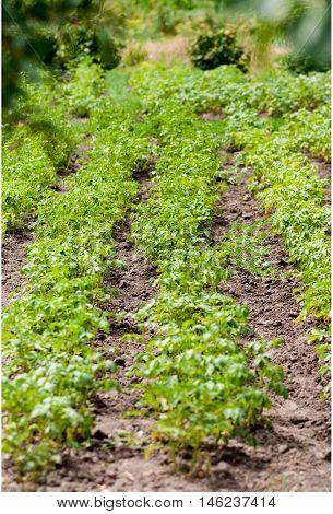Green potato  plant . House kitchen garden .