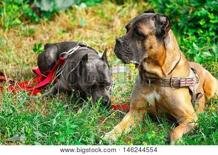 Brown and gray cane corso italiano lying on the green grass