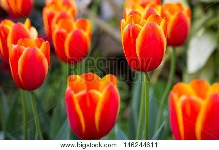 beautiful orange tulip flower in the garden