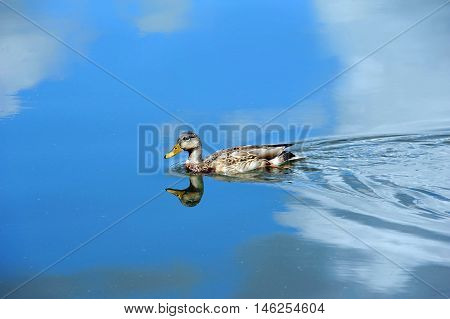 Yahara River reflects vivid blue skies and white clouds. A female Mallard duck swims gracefully across image.