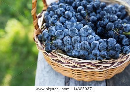 Red Wine Grapes. Dark Grapes, Blue Grapes, Wine Grapes In A Basket