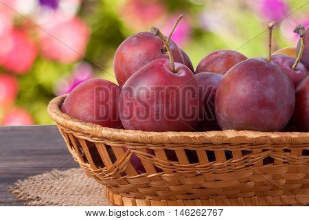 plum in a wicker basket on the wooden table with sackcloth and blurred green background.