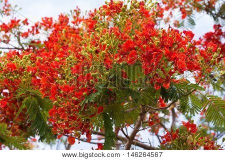 Flamboyant The Flame Tree Royal Poinciana Peacock flower Caesalpinia ulcherrima Leguminosae