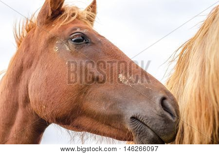 Portrait of a beautiful brown thoroughbred horse at farm. Head shot of a chestnut horse. Portrait of nice brown bay horse