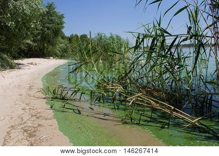 ecology. blooming pond. algal blooms green beach on the lake. Water pollution