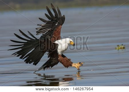 fish eagle at the last moment to attack prey Kenya